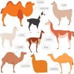 diferencias llama alpaca vicuña guanaco