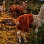 Llama or Alpaca encounter in Peru