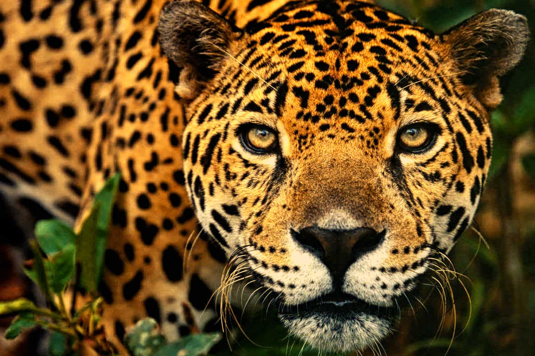 Jaguar peruano