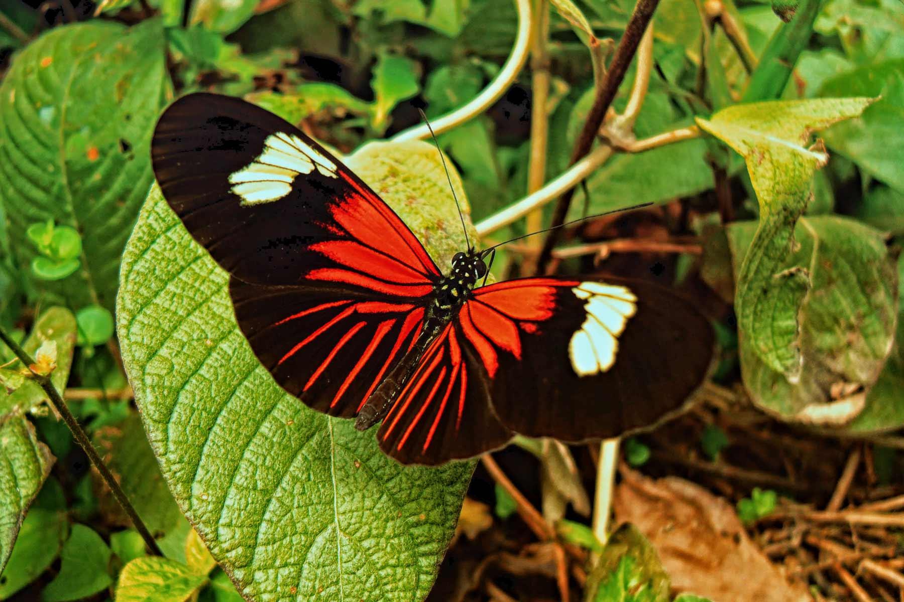 Mariposa fauna peruana