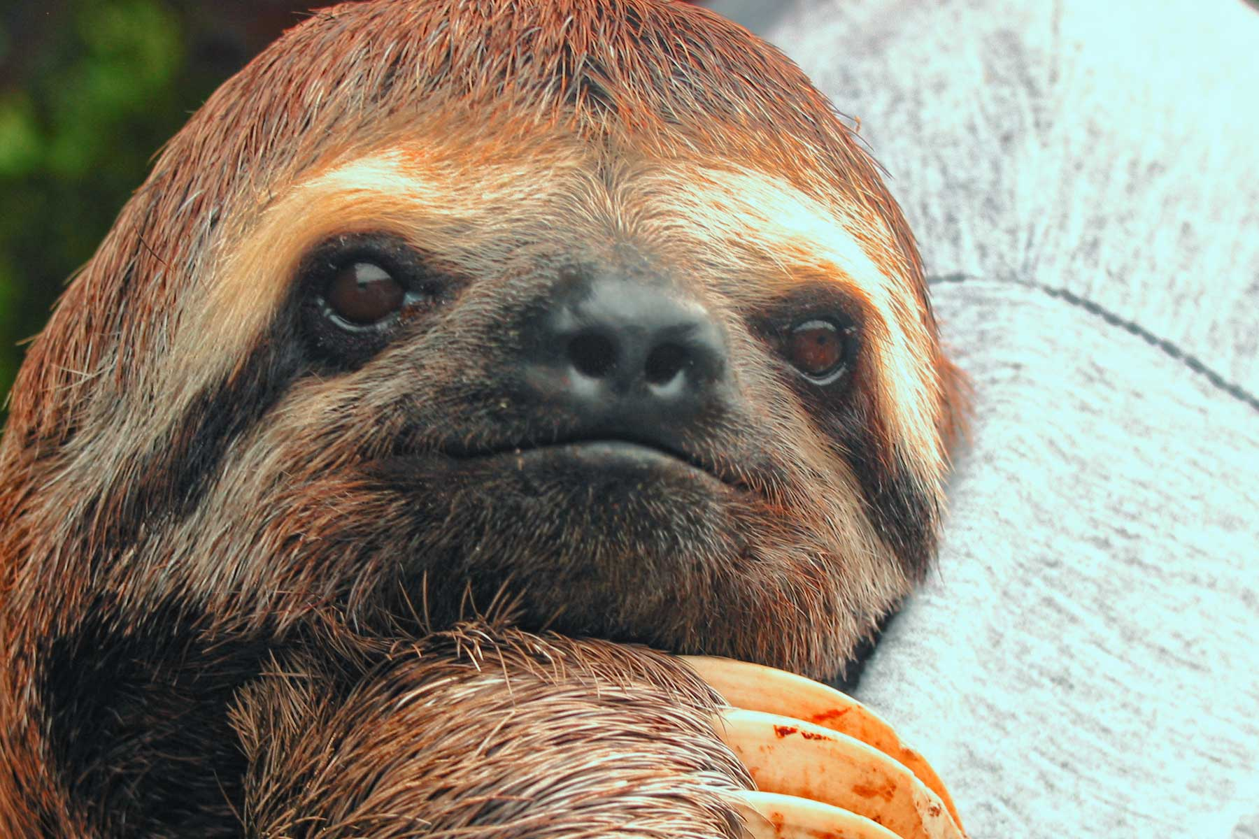 Oso perezoso fauna peruana