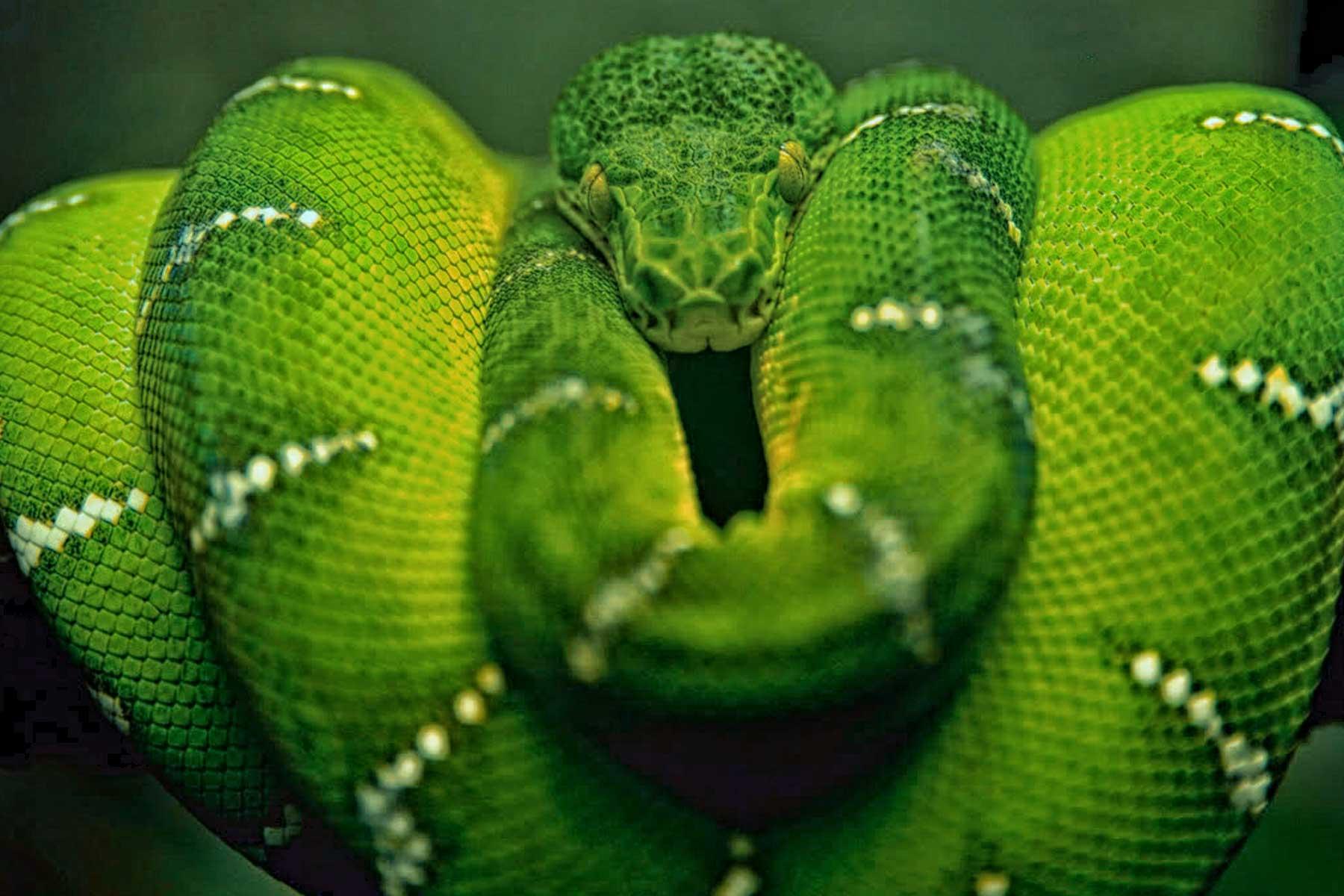 Serpientes fauna peruana