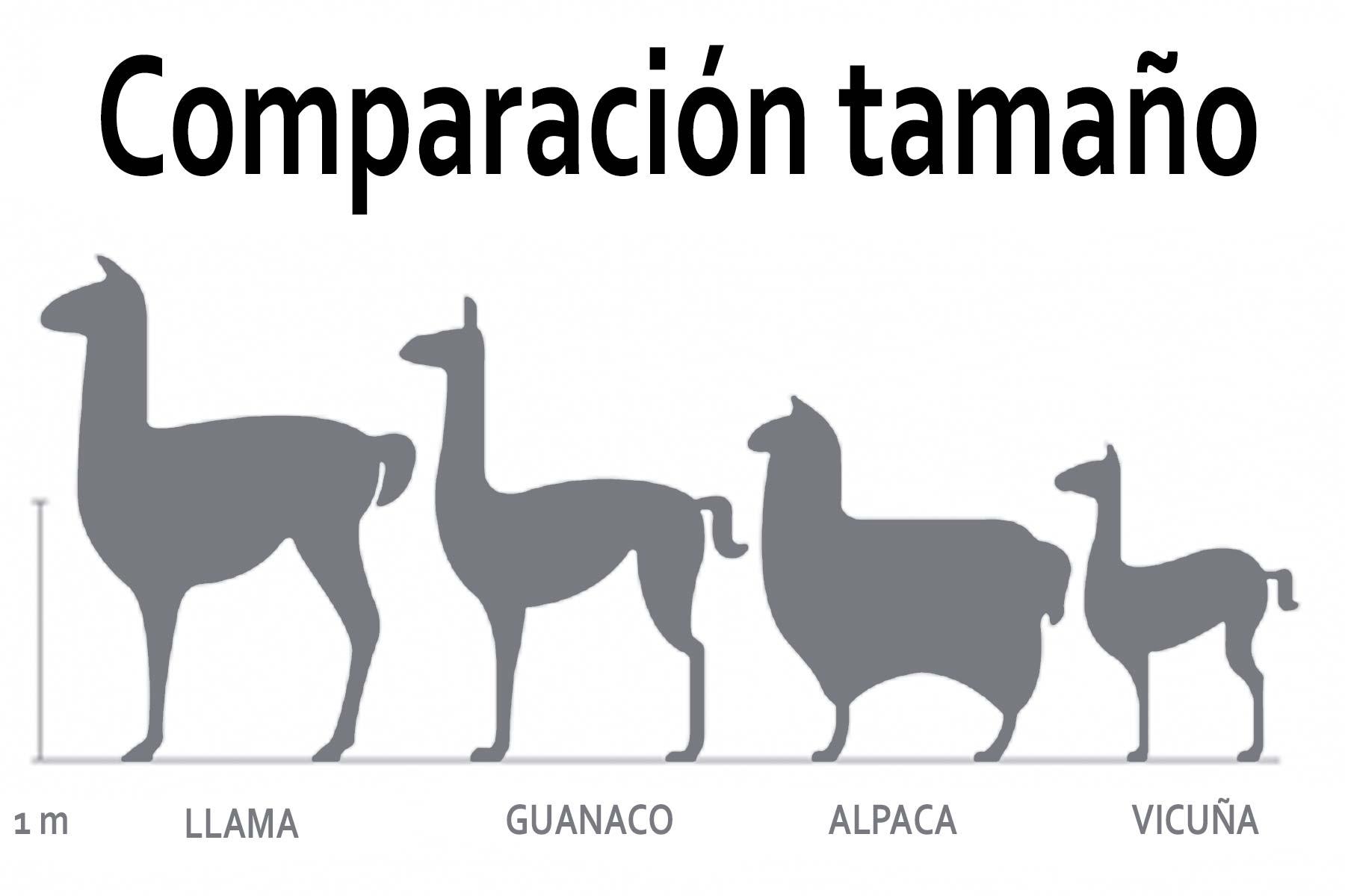 comparación tamaño de camelidos andinos