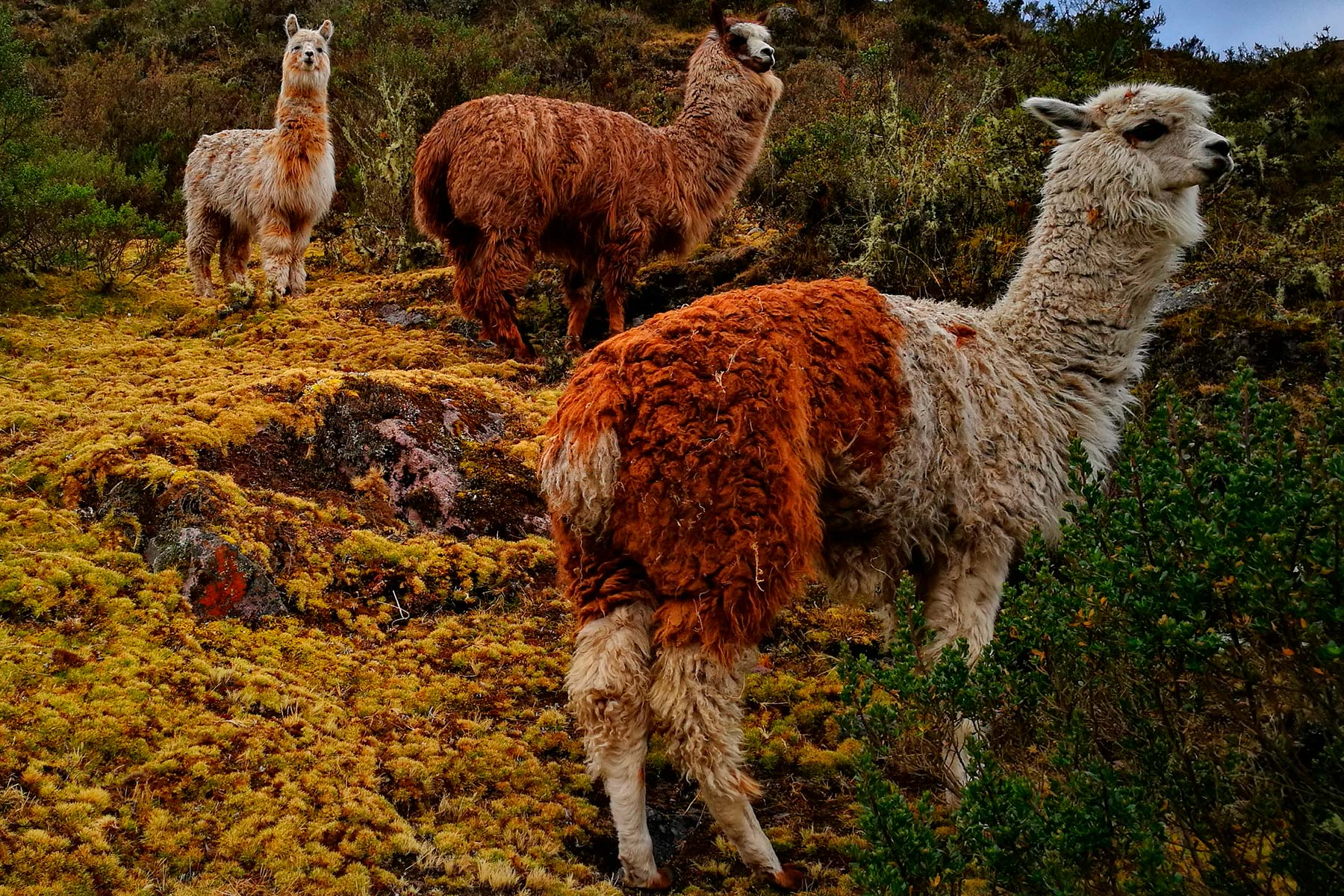 Llama or Alpaca encounter in Peru