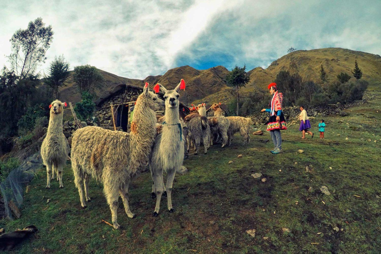 Tour de alpacas en Lares