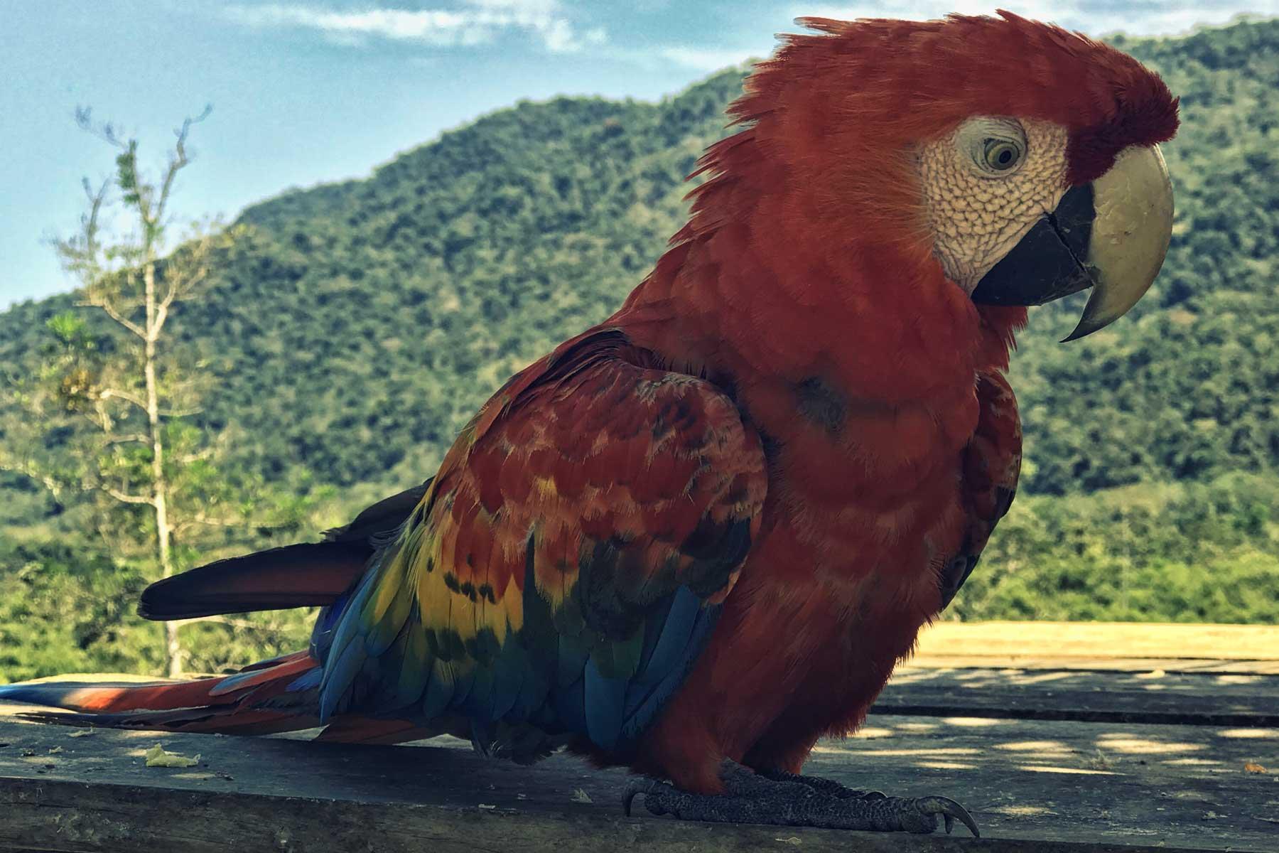 Loro colorido de la selva peruana en Manu