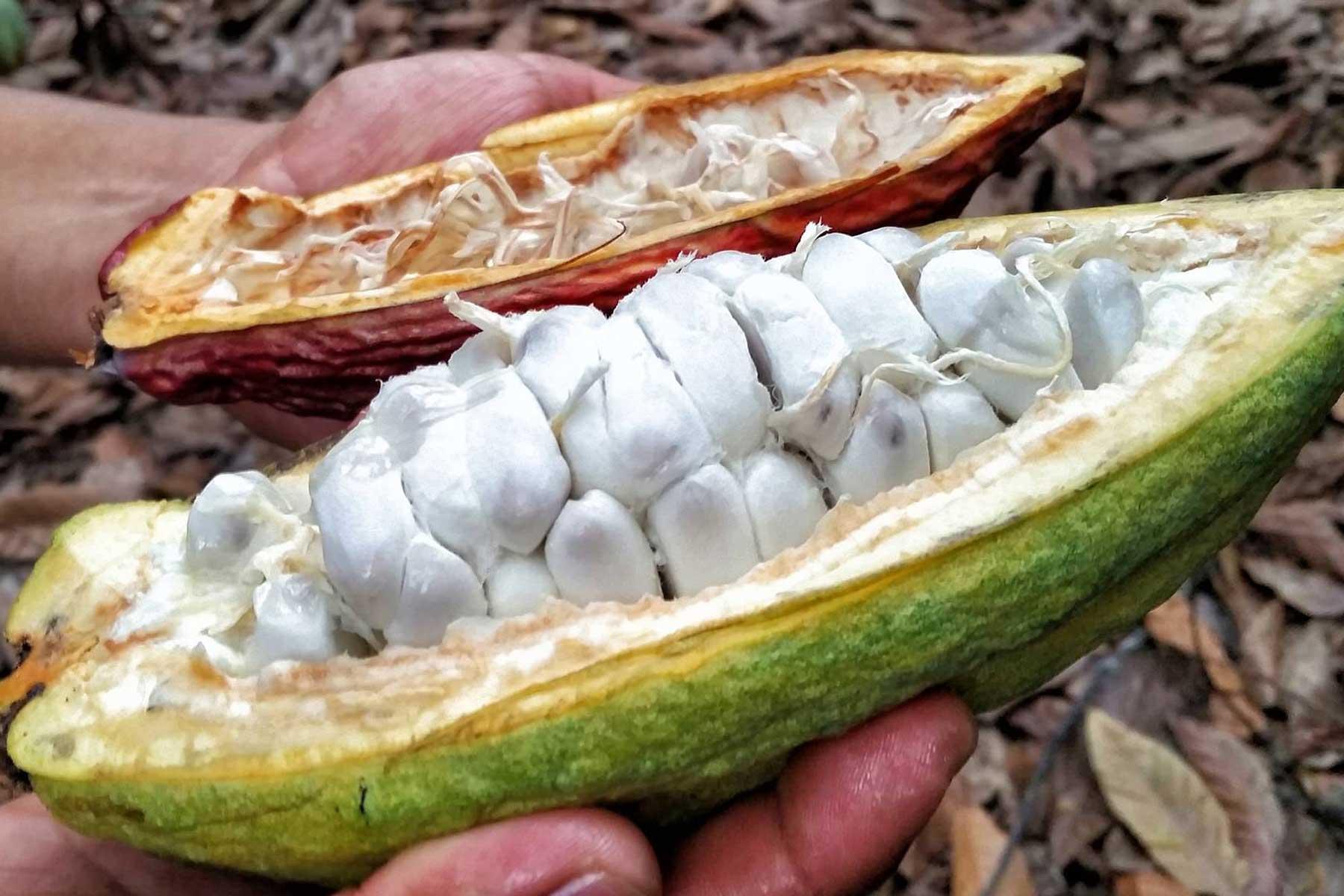 Cacao fruta