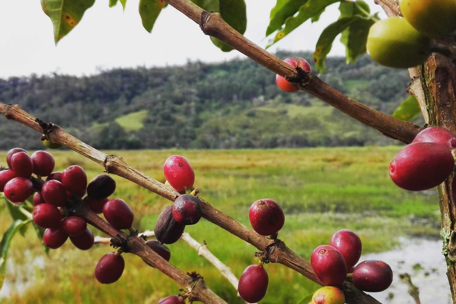 Cafe flora de los andes peruanos