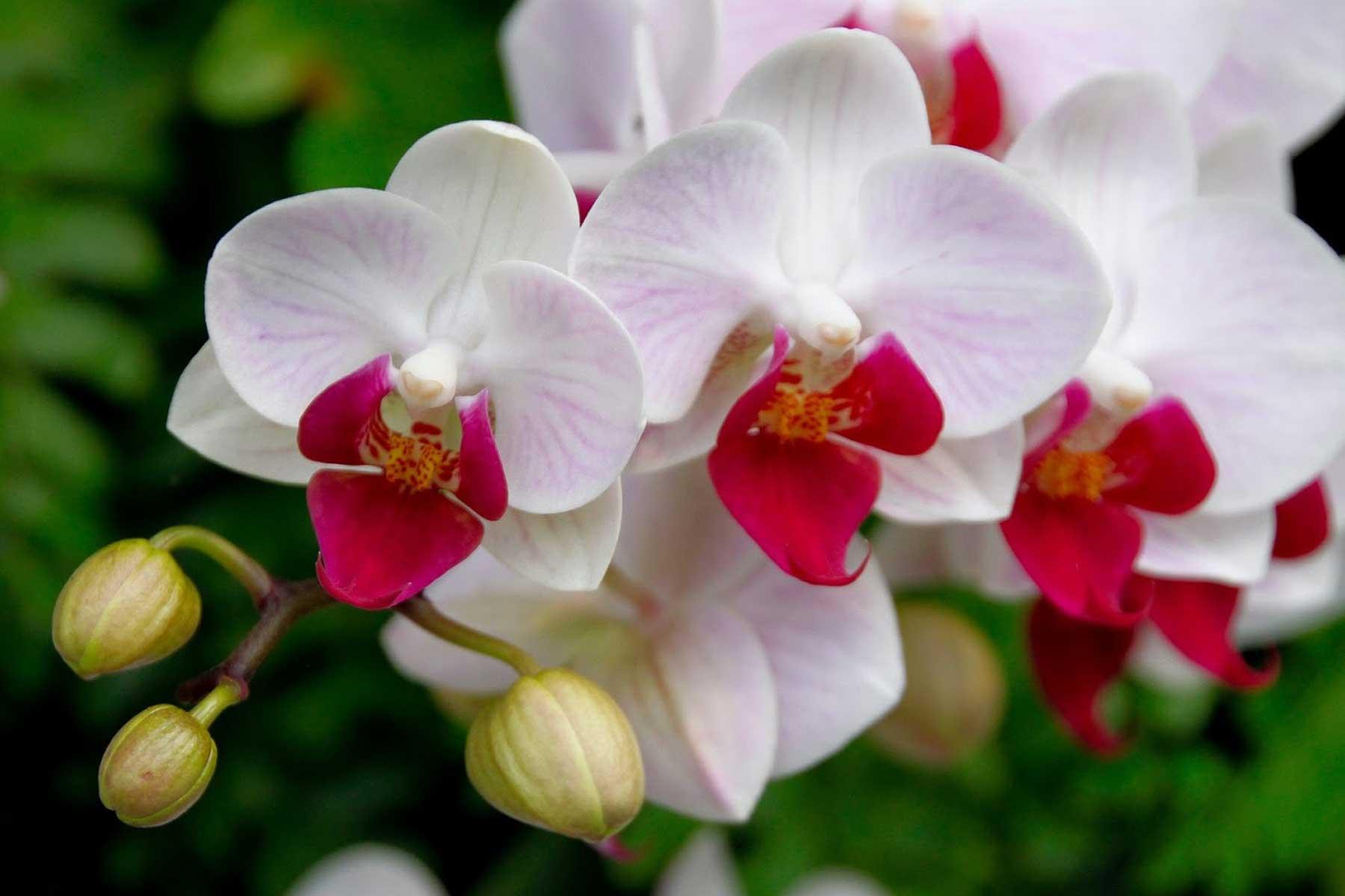 Orquídeas Perú
