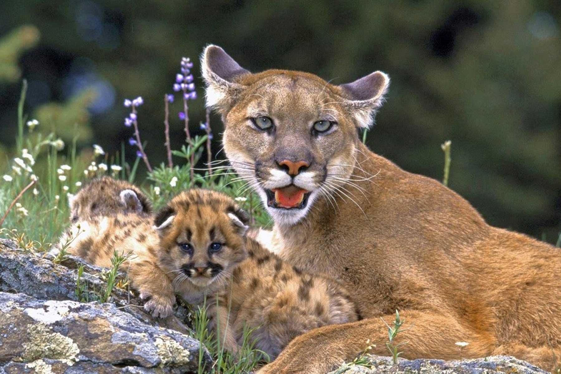 Puma y sus crías