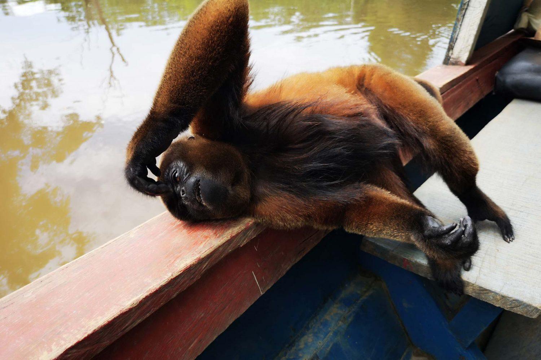 11mono de la selva descansando en el bote que navega el río Amazonas